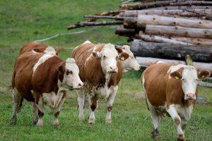 cow 5717273 1280